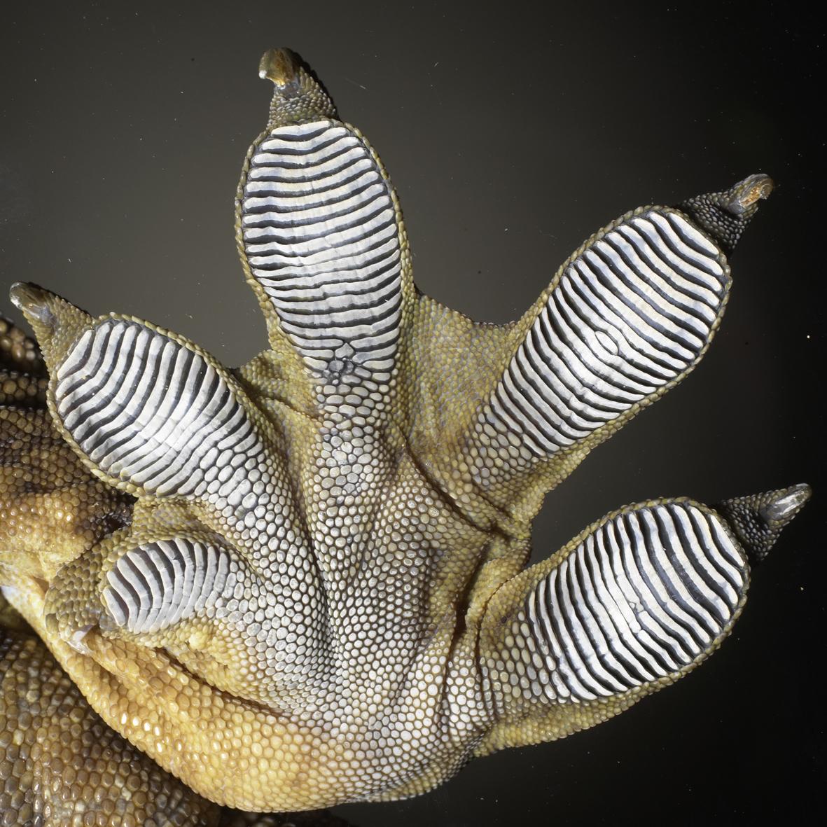Scientific Image Gecko Foot Nise Network