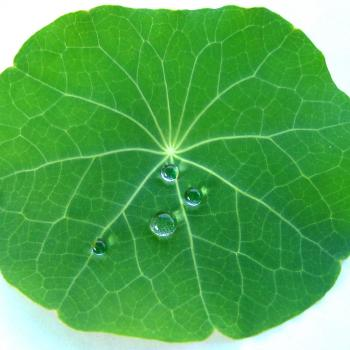 A lotus leaf showing off its hydrophobic properties. Water is balled up on its surface.