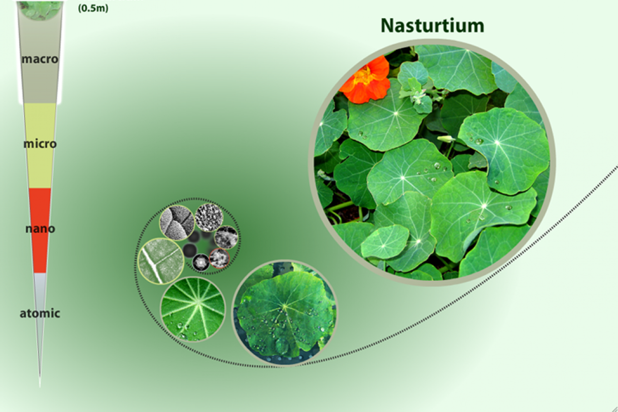 A screenshot of the zoom into a nasturtium leaf interactive starting with a nasturtium leaf.